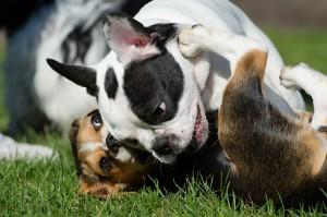bulldog francais (2)